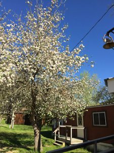 Apple Tree in Bloom last Spring
